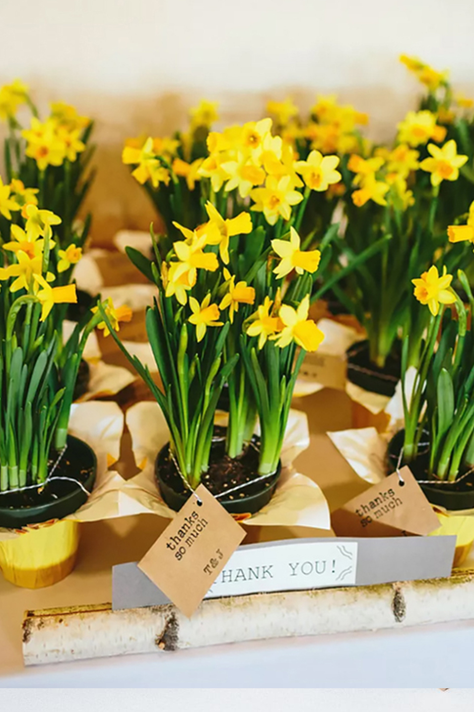 Newlyweds gave a pot of daffodils for their spring wedding favours at Bassmead Manor Barns